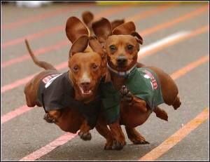 собаки на беговой дорожке