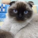 очень шикарная голубоглазая кошка