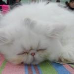 персидский котенок устал и спит