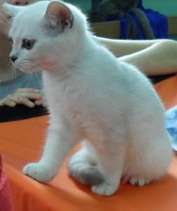 белоснежный котенок шиншиллы