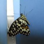еще одна красивая бабочка